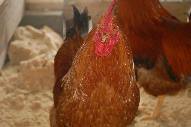 Несушки едят свои яйца-почему? - Дачный - Форумы Ykt Ru